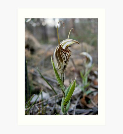 Green Veined  Shell Orchid number3 Art Print