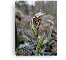 Green Veined  Shell Orchid number3 Canvas Print