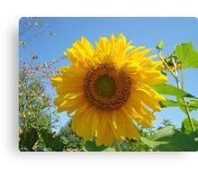 Summer Sunflower Garden art prints Blue Sky Baslee Canvas Print