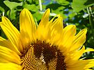 Sunlit Yellow SunFlower art prints Colorful Baslee Troutman by BasleeArtPrints