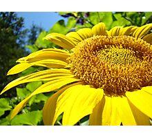 Yellow Sunflower Flower art print Summer Garden Baslee Photographic Print
