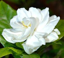 White Gardenia  by DearMsWildOne