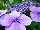 Purple Hydrangea Flower art print Botanical Baslee Troutman by BasleeArtPrints