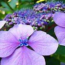 Purple Hydrangea Flower art print Botanical Baslee Troutman by BasleeArtPrints