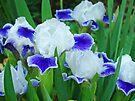Iris Flowers Garden Purple White Irises Baslee Troutman by BasleeArtPrints