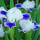 Iris Flowers Garden Purple White Irises Baslee Troutman by BasleeArtPrints