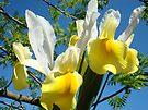 Yellow White Spring Iris Flowers art prints Trees by BasleeArtPrints