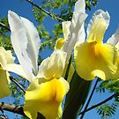 Yellow White Spring Iris Flowers art prints Trees by BasleeArtPrints