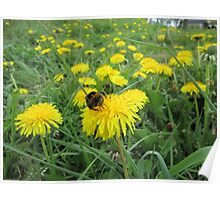 Bumble bee on dandelion Poster