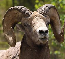 Chuckles the Ram by Vickie Emms