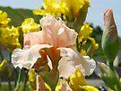 Irises Flowers art prints Peach Pastel Iris Flower Baslee by BasleeArtPrints