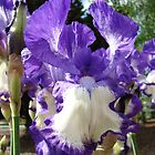 Irises Flowers Summer Garden Purple White art prints by BasleeArtPrints