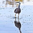 White-faced Heron, Fingal #1 by Odille Esmonde-Morgan