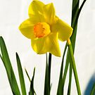 Daffodil HQ by Anthony Davey