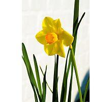 Daffodil HQ Photographic Print