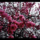 Cherry Blossoms by korinna999