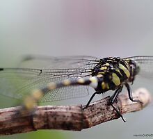 Dragon Fly -2 by HamimCHOWDHURY