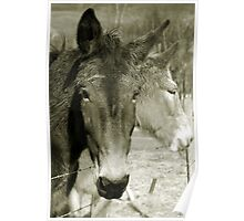 Mulling Mules Poster