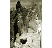 Mulling Mules Photographic Print