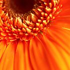 orange gerbera aflame by lensbaby