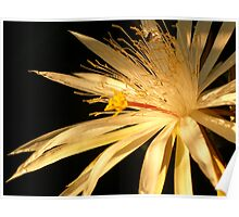 Night blooming Cactus Poster