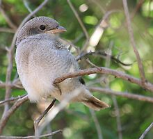 Fiscal Shrike Fledgling - One of four by Maree Clarkson