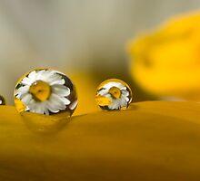 Daisy Drops by Jenni77