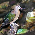 Emerald Dove_2 by Kee Seng FOO