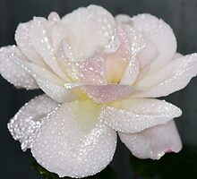 Rose Sparkles by AnnDixon