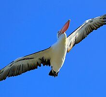 Pelican Airways by Kym Howard