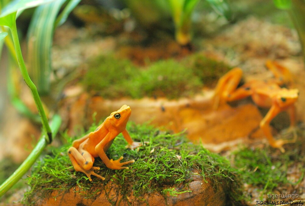 Day in the Life of a Dart Frog by tigerwings