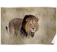 Mabua Male Lion Poster