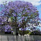 Jacaranda Tree in Bloom by Sharon Brown
