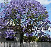 Jacaranda Tree in Bloom by PollyBrown