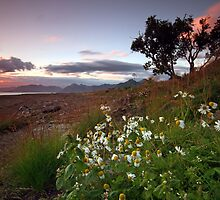 Wild daisy at the beach by Frank Olsen