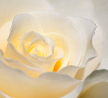 White Rose Blooming by Agro Films