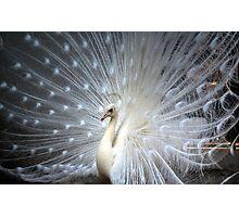 dancing white peacock Photographic Print
