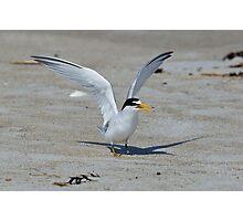 Least Tern Photographic Print