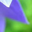 balloon flower 2 by Rachael DuMoulin