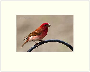 Purple Finch by Yannik Hay