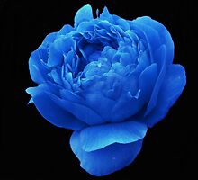 Peony Blue's by charmedy