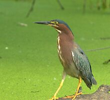 green heron, rainy day by gregsmith