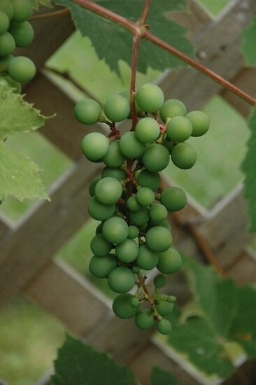white grapes in my world~ by dabadac