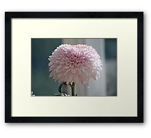 Soft and Pink Crysanthemum Framed Print