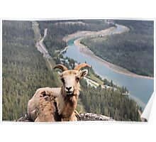 Female Mountain Bighorn Sheep Poster