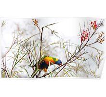 Rainbow Lorikeet - Herberton FNQ Poster