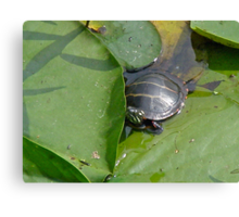 Young Painted Turtle on Lily Pads Canvas Print