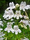 Foxglove Beardtongue Wildflower - Penstemon digitalis by MotherNature