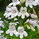 Foxglove Beardtongue Wildflower - Penstemon digitalis by MotherNature