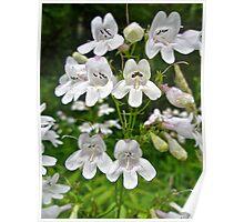 Foxglove Beardtongue Wildflower - Penstemon digitalis Poster